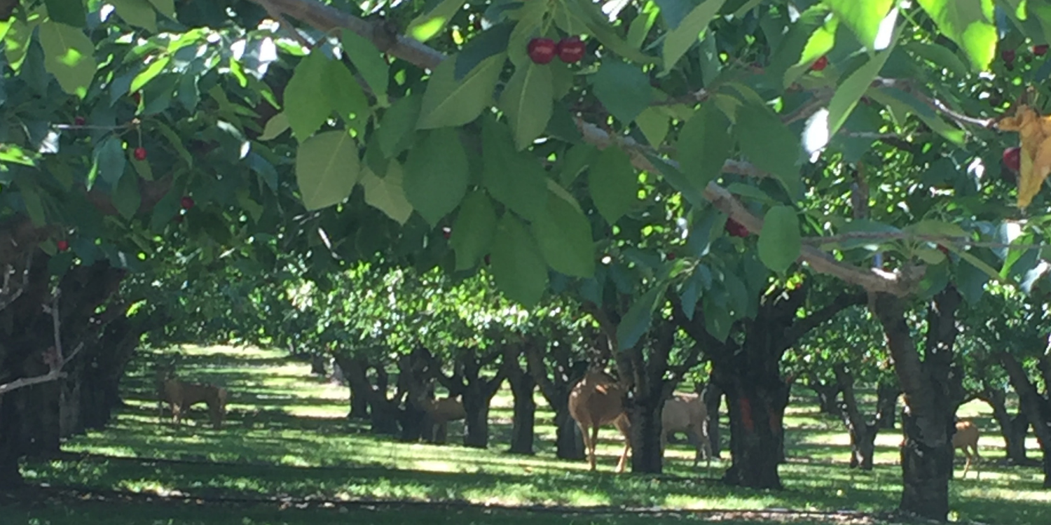 Cherry orchard with deer